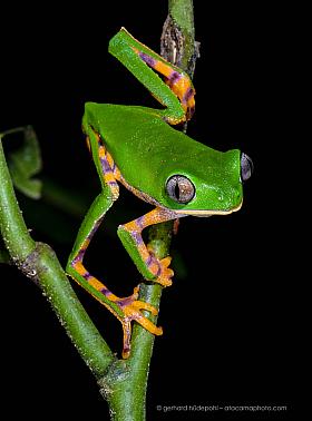 Tiger leg monkey tree frog (Phyllomedusa tomopterna), Tambopata Reserve Peru