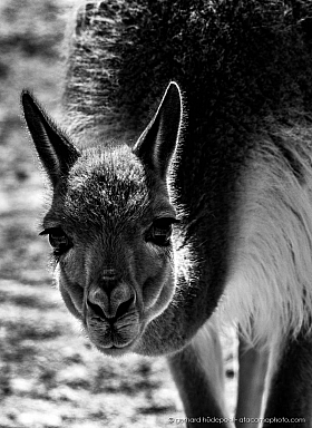 Black and white portrait of a Vicuña in the Altiiplano of Chile