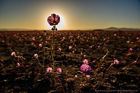 The setting sun hidden behind a desert flower, Atacama desert in bloom