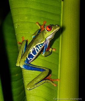 Red-eyed treefrog (Agalychnis callidryas) on a banana leaf, Braulio Carillo National Park