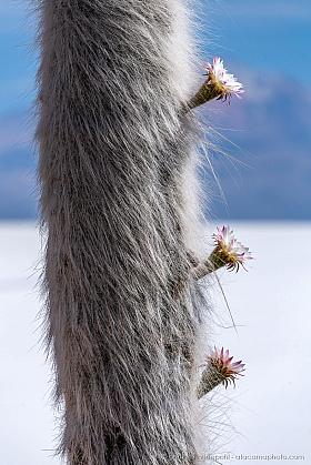 Fluffy cactus: giant Cardon (Echinopsis atacamensis paracana) in full bloom at Isla Incahuasi, Salar de Uyuni, Bolivia