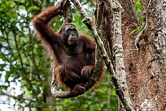 Orangutan resting on a tree at Semenggoh Wildlife Reserve