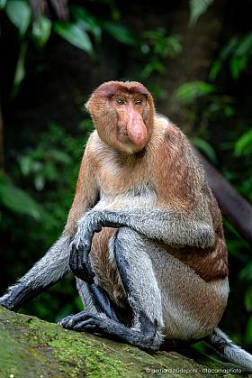 Proboscis monkeys (Nasalis larvatus) are endemic to Borneo, Bako National Park