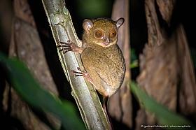 The Tarsier (Cephalopachus bancanus) is a small nocturnal primate of Borneo.