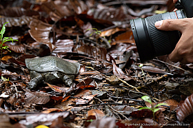 Malayan softshell turtle (Dogania subplana) in front of a macro lens
