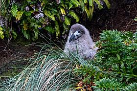 Light-mantled Albatross (Phoebetria palpebrata) chick on its nest, Auckland Island