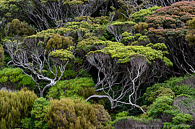 Sub antarctic forest on Auckland Island with windswept grass trees and rata trees