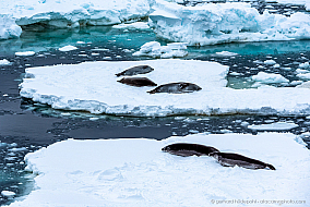 Weddell seals resting on ice floes at the Ross Sea, Antarctica