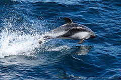 A Peale's dolphin porpoising close to our ship, South Atlantic