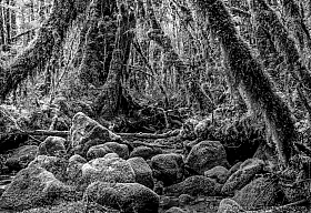 Black and White: Moss covered rocks and creek in the temperate rainforest in Chilean Patagonia
