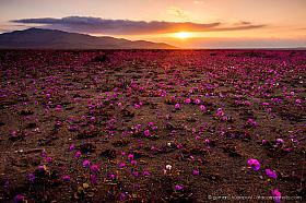 Atacama Desert in bloom at sunset, field of Pata de guanaco flowers in dramatic evening light near Copiapo