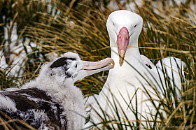 Wandering Albatross mother feeding chick at nesting site, South Georgia Island