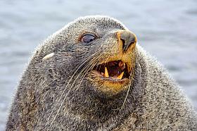Portrait of an Antarctic Fur Seal (Arctocephalus gazella) showing off scary front teeth