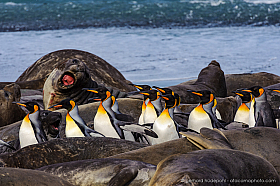 A group of king penguins walking between elephant seals, South Georgia Island