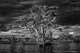 Black and White: Inundated Macrolobium tree at sunset, lake Cuyabeno, Ecuador