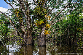 Flooded rainforest with Macrolobium tree and bromeliads, Cuyabeno lake, Ecuador