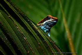 Ecuadorian poison frog (Ameerega bilinguis), Cuyabeno rain forest, Ecuador