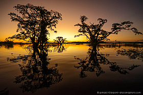 Silhouettes of Macrolobium (Macrolobium acaciifolium) trees at Cuyabeno lake. Reflections of trees in water at sunset