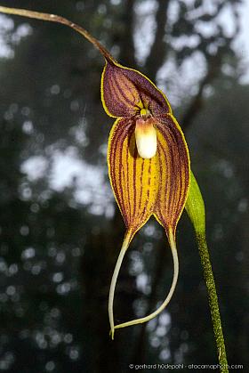 Dracula dodsonii orchid in habitat, Santa Lucia cloud forest, Ecuador