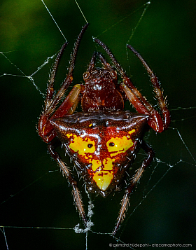 Arrowhead spider (Verrucosa sp.) with a face on its back, Ecuador cloud forest