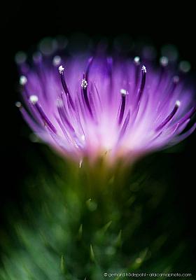 Cardo negro or Spear thistle (Cirsium vulgare) flower close up
