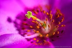 Macro photo of Pata de Guanaco flower, an emblematic flower of the Atacama desert in bloom