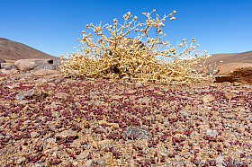 After a rare desert rain thousands of tiny plants are sprouting around the dry remains of dead plant