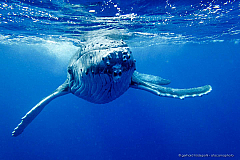 Face to face with Humpback whale calf, underwater photo taken at Tonga