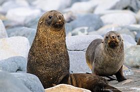 Antarctic Fur Seals (Arctocephalus gazella) on Half Moon Island, Antarctica