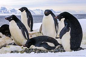 Nesting Adelie penguins (Pygoscelis adeliae) on Torgersen Island, Antarctica