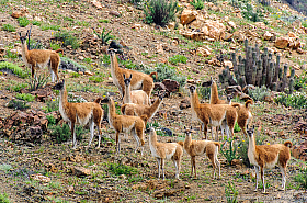 Guanacos (Lama guanicoe) are members of the Camelidae family and are endangered in the north of Chile.