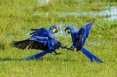 Two fighting Hyacinth Macaw (Anodorhynchus hyacinthinus), Pantanal