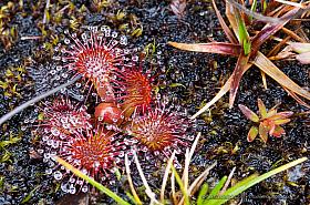 Carnivorous Sundew (Drosera uniflora) plant, Valdivian rainforest Chile