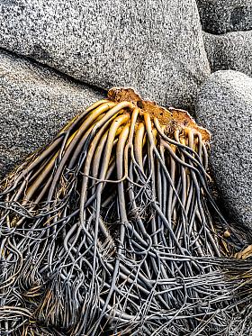 Kelp washed ashore between granite rocks, Atacama coast