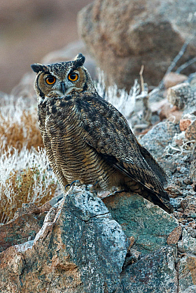 The Magellanic horned owl (Bubo magellanicus) can only be found with luck in the Atacama Desert