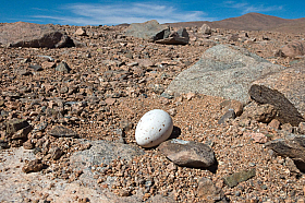Gray Gulls (Larus modestus) lay their eggs in the middle of the Atacama desert