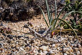 Horsehead grasshopper, Atacama Desert