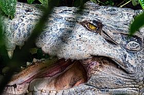 Large saltwater crocodile at Semenggoh Wildlife Centre, Borneo