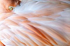 Flamingo eye and feathers