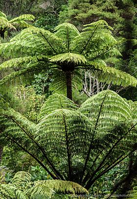Dense tree fern forest at Coromandel, New Zealand