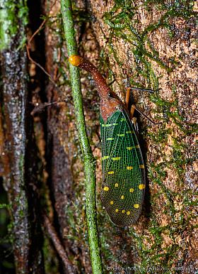 Blue-winged Lanternfly (Pyrops intricata), Mulu national park, Borneo