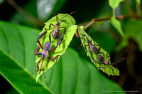 Leaf-footed bugs (Prionolomia sp.) juveniles, Mulu national park, Borneo
