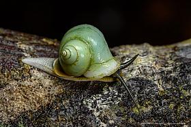 Green snail, Kinabalu National Park