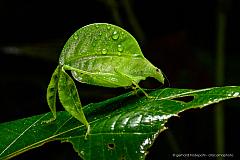 Perfect camouflage of a Leaf-Legged Katydid (Eulophophyllum lobulatum), Kinabalu National Park, Borneo