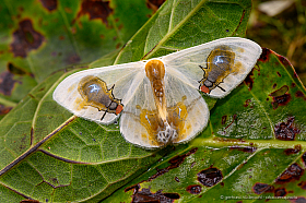 Mimicry: The wings of this moth (Macrocilix maia) seem to show two flies feeding on a fresh bird dropping.