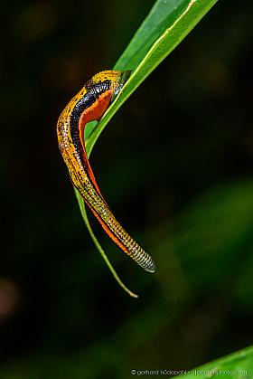 Tiger leech (Haemadipsa picta), Deramakot Forest Reserve, Borneo