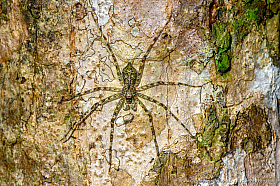 Spider with beautiful lichen camouflage, Kinabatang wetlands