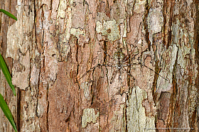 Camouflaged spider on a tree trunk, Borneo