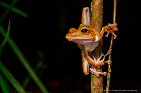 Well camouflaged tree frog (Polypedates collettii), Borneo