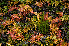 Barablechnum montanum fern population on Campbell Island, New Zealand
